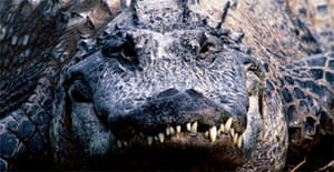 A close-up encounter with an American alligator. Photograph: Art Wolfe/Getty