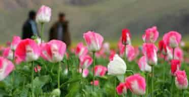 Afghan opium poppies in full bloom: Photograph: Paula Bronstein/Getty Images