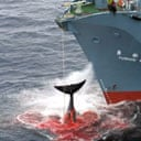 A Japanese factory ship winches in a harpooned whale. Photograph: Greenpeace/EPAA Japanese factory ship winches in a harpooned whale. Photograph: Greenpeace/EPA