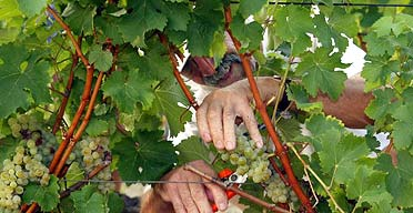 A man harvests wine grapes in southwestern France