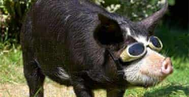 Kurobuta, a pedigree Berkshire pig at Lucies farm in Worcester, wears goggles to protect his eyes as he cools off under a hosepipe