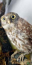 A stuffed owl. Photograph: Frank Baron