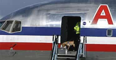 A police officer with a sniffer dog boards an American Airlines plane at Glasgow Airport