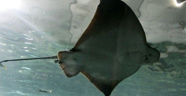A stingray swims in its enclosure at the Sydney aquarium