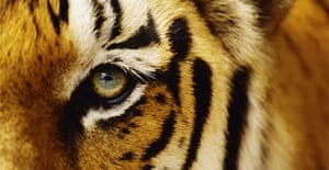 skin trade could wipe out india s tigers environment the guardian