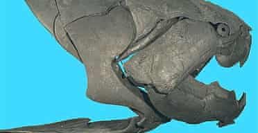 A fossil skull of Dunkleosteus terrelli, which had the strongest bite of any fish known