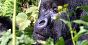 A mountain gorilla - scientists estimate that as many as 5,000 may have been killed by the Ebola virus
