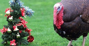 A turkey escapes the Christmas dinner table