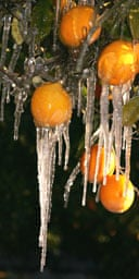 Icicles hang from oranges at a citrus orchard in Exeter, California