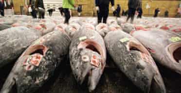 Japanese fishmongers inspect frozen tuna at the Tsukiji wholesale market in Tokyo
