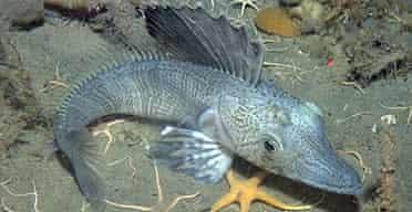 An Antarctic ice fish