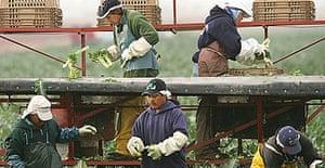 Immigrant farm workers harvest broccoli on a farm near the border of Colorado and Arizona.