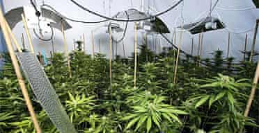 A cannabis factory at a house in London