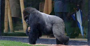 Bobby, the silverback who the zoo hopes will mate with Effie to increase its gorilla population