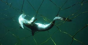 A young smooth hammerhead shark caught in a net