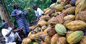 Growers in Ghana harvest cacao