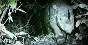 A Sumatran rhinoceros is captured on a remote video camera set up in the jungles of Malaysian Borneo.