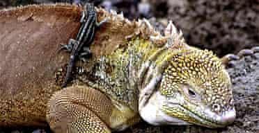 Iguana with lava lizard