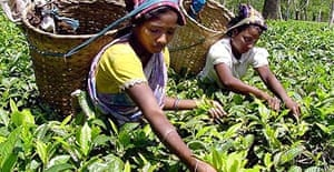 Indian workers pick tea leaves at a plantation