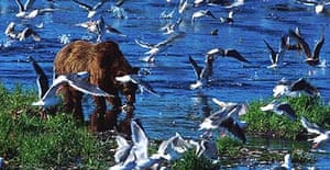 Grizzly bear fishes for salmon