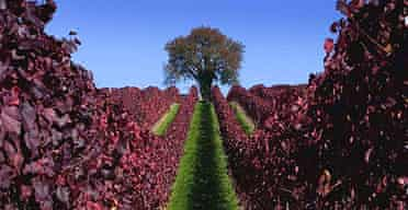 Autumn at a German vineyard near Lake Constance