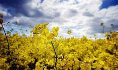 GM oilseed rape