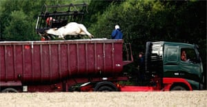 A dead cow is loaded into a lorry at the site of a foot and mouth outbreak in Surrey
