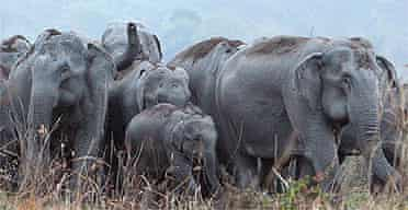 A herd of wild elephant in northern India