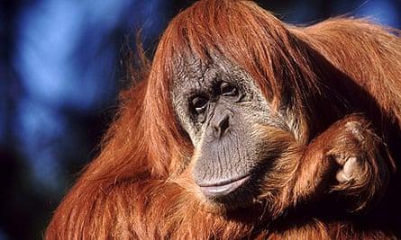 An orang-utan in Sumatra, Indonesia