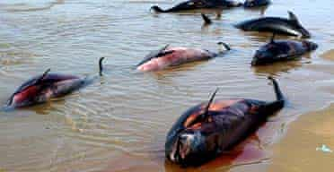 Dead dolphins washed up off the port of Jask in southern Iran