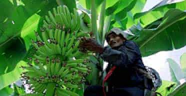 A Costa Rican worker takes care of bananas for export.