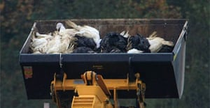 Bird carcasses from bird flu cull in Redgrave, Suffolk
