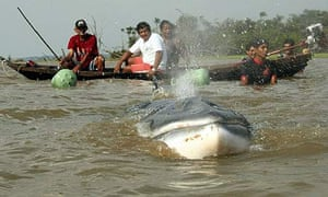 Residents of Brazil's Amazon basin try to help a Minke whale reach deeper water