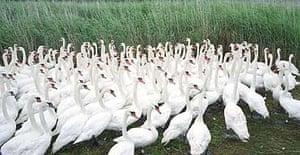 Abbotsbury Swannery Dorset bird flu H5N1