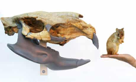 Largest fossil rodent