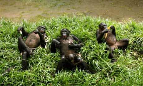 Bonobos or pygmy chimps