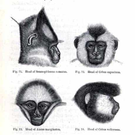 Drawing of monkeys from Darwin's The Zoology of the Voyage of HMS Beagle