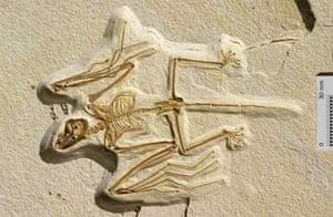 Fossilised bat, Onychonycteris finneryi