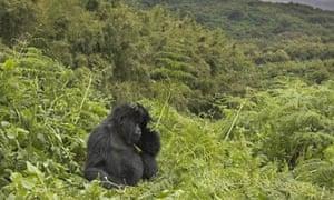 A mountain gorilla in Rwanda