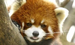 Mao Mi, a red panda that has just arrived at the Prospect Park Zoo in Brooklyn, New York