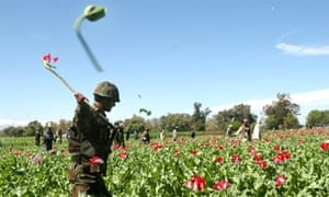An Afghan soldier destroys opium poppies in a field