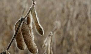 An unharvested soy bean in Maryland