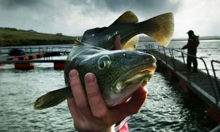 Cod being farmed in Vidlin Voe in the Shetland Islands by Johnson Seafarms Ltd. Photograph: Murdo Macleod