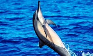 A spinner dolphin dances across the water