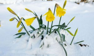Daffodils in snow in Consett Co Durham. Photograph by Owen Humphreys/PA Wire
