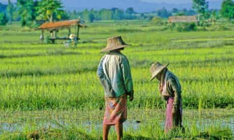 Workers in a rice field on the outskirts of Chiang Mai in Thailand