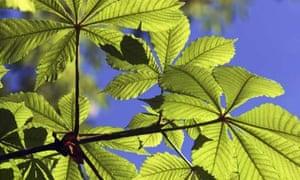 Horse chestnut tree branch
