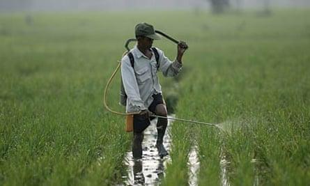 Rice farmer in Indonesia.