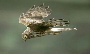 Female Hen harrier.
