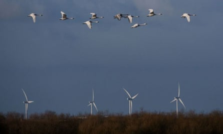 Whooper swans pass wind turbines